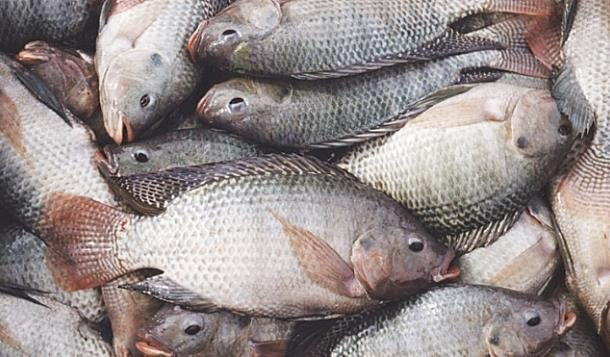 Chinese Importing Tilapia Illegal – Fisheries Minister