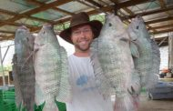 Cheap Chinese Tilapia, High Cost Of Production Collapsing Local Tilapia Business