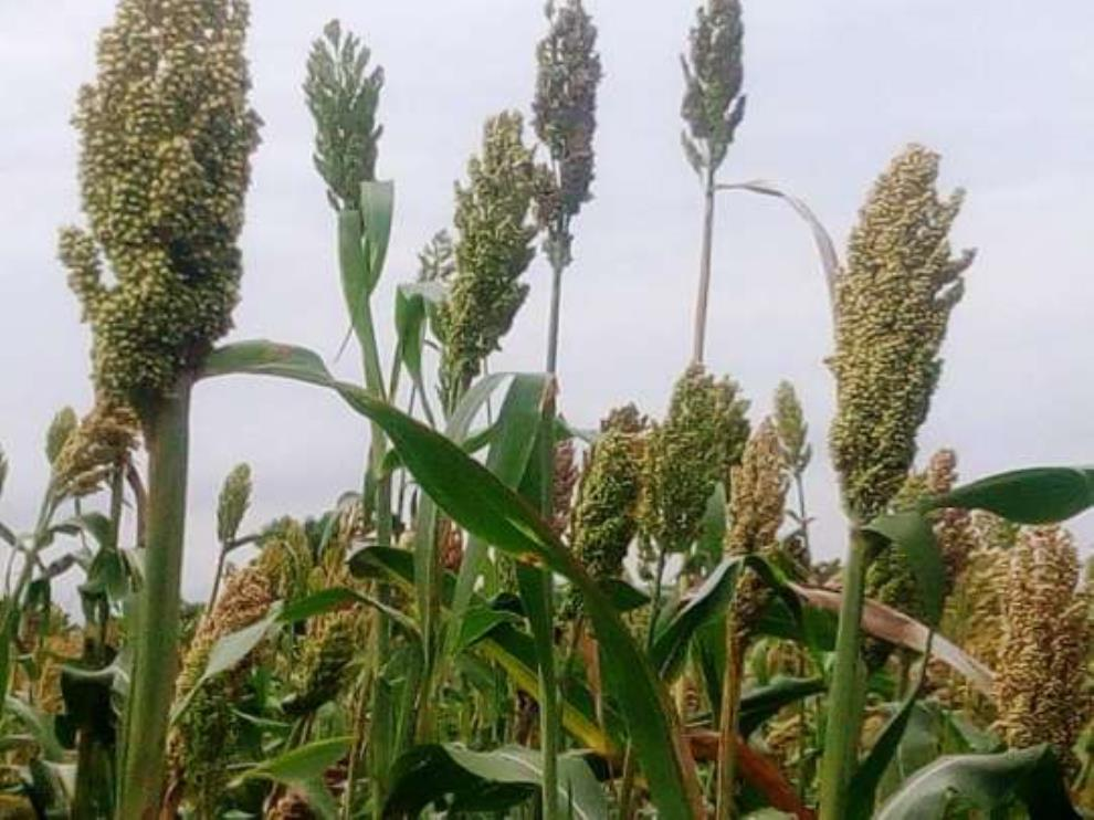 Get Involved In Millet Farming; It Is Lucrative