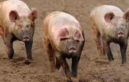 W/R: 17 Pigs Killed By Africa Swine Flu– Veterinary Services