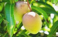 Mango Combats Cancer Cells & Protect Against Asthma