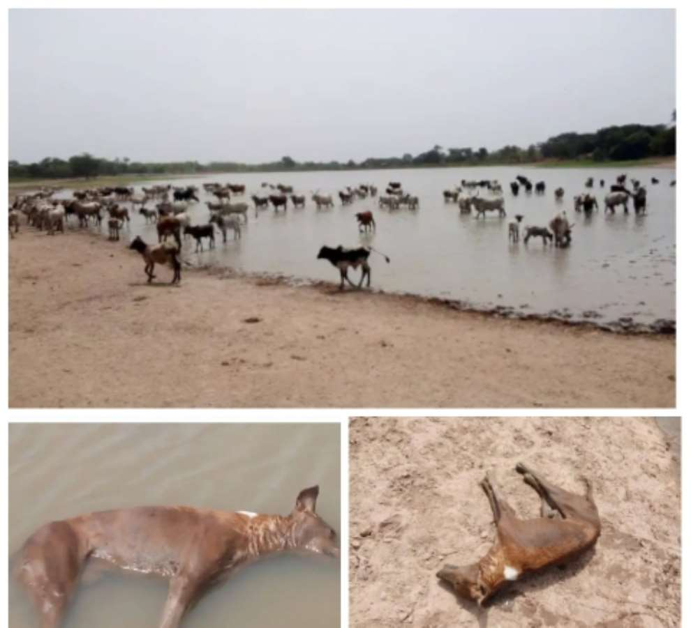 Conflict looms in Bimbilla as residents caution cattle headers for destroying the only source of drinking water